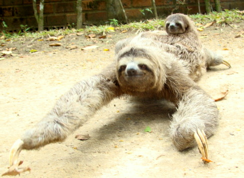 sloth with baby on ground